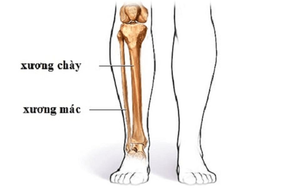 Cấu tạo của cẳng chân